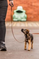 border terrier pup loose lead walking.jpg