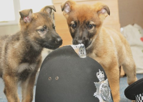 Cheshire Police welcome new puppy recruits