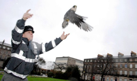 Rescued falcon nursed to health by Stapeley Grange in Nantwich