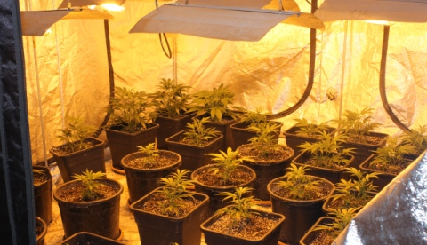 Nantwich burglary victim arrested for growing cannabis plants!