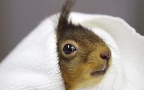 Nantwich RSPCA staff nurse injured red squirrel back to health