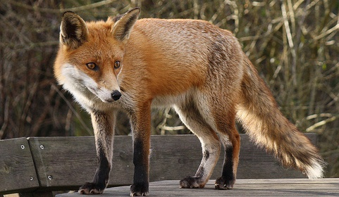 Stapeley Grange Wildlife Centre warning after mystery fox deaths