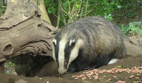 badger cull - Badgers blamed for South Cheshire TB outbreak (pic by Natbat)