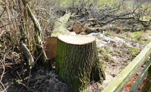 "Cheshire East Cabinet member vows ""action"" over Stapeley oak tree felling"