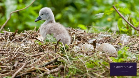 Picture special: Nantwich swans welcome new-born on Mill Island