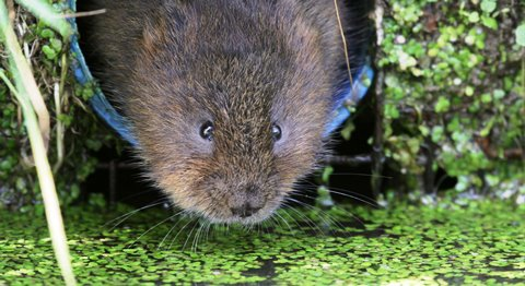 Student's film tracks life of rare water voles on Nantwich canal