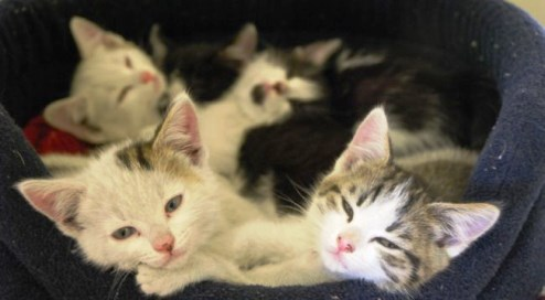 kittens at RSPCA Stapeley Grange centre in Nantwich