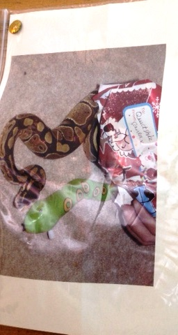 Nantwich family's appeal to find missing Royal Python snake