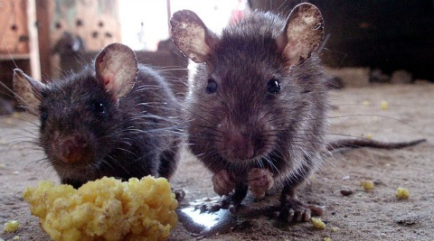 New Nantwich housing development plagued by giant rats