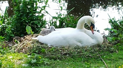 RSPCA seeks dog warning signs after Nantwich Lake cygnet killed
