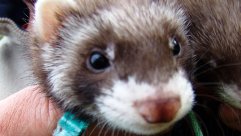 Thieves steal six ferrets in raid on family home in Nantwich