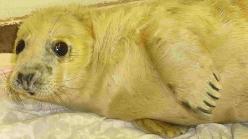 Nantwich RSPCA staff care for seal pups hit by UK floods