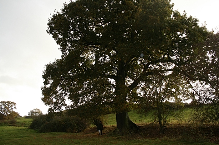 Ancient Oak in path of HS2 - Cheshire. Credit Matt Lawton