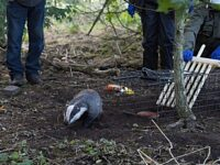 Cheshire East Council backs badger vaccination programme across borough