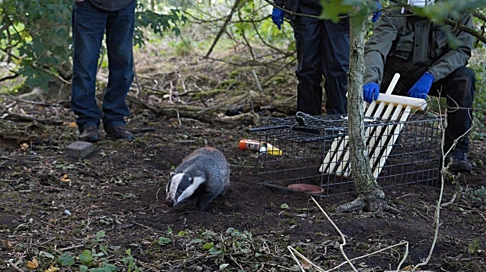 Badger released after vaccination 1 - Copy (1)