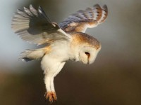 Cheshire Wildlife Trust project to save threatened barn owl