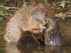 Cheshire Wildlife Trust to stage beaver talk at Bickley Hall Farm