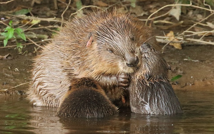 Beaver female with kits 1 (Mike Symes) re-sized