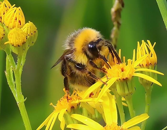 Bee - photo by Daniel Bain (1)