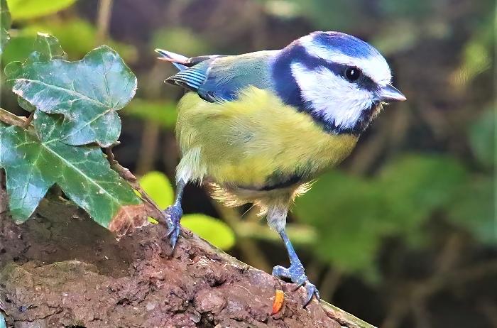 Blue tit - photo by Daniel Bain (1)