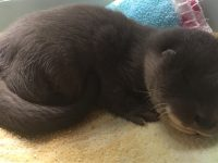 Orphaned otter cub nursed back to health by Nantwich RSPCA centre