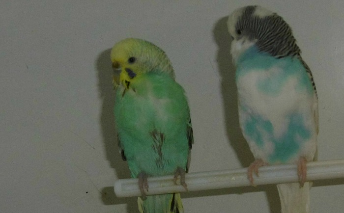Budgies at Stapeley Grange