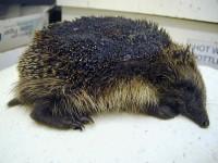 Nantwich hedgehog champion issues bonfire plea