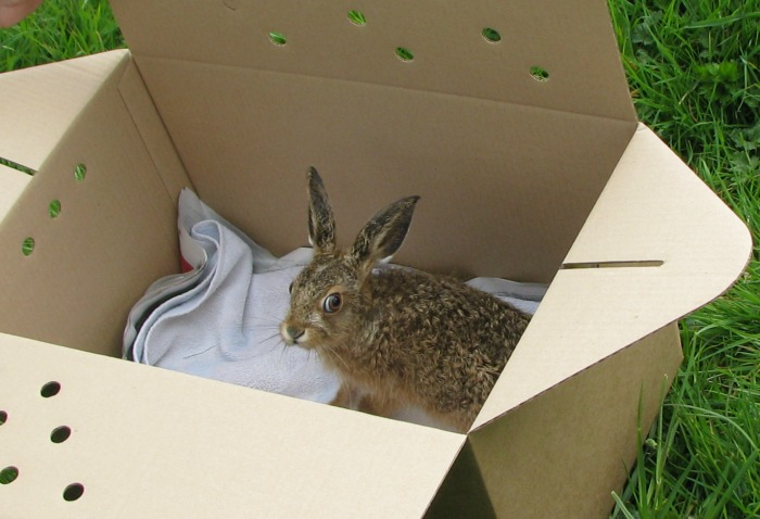 Cheshire Wildlife Trust provides  haven for orphaned  RSPCA hares