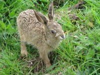 Rescued hares in Nantwich find new Cheshire Wildlife Trust home