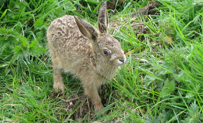 Cheshire Wildlife Trust provides haven for orphaned RSPCA hares - picture 2_07.05.15