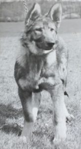 Cheshires first ever police dog, Nora the Alsation, in 1951