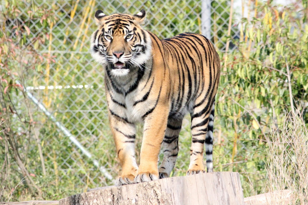 Chester Zoo tiger - pic by Jeff Buck creative commons licence