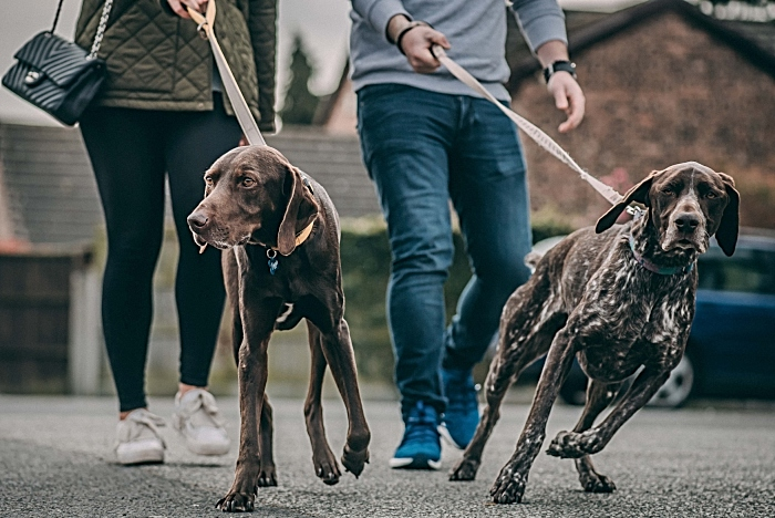 Cola is back enjoying his walks with his Pointer pal Ronnie