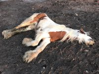 "RSPCA appeal as dead foal dumped ""like rubbish"" on A500"