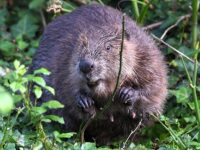 Cheshire Wildlife Trust raises £30,000 for beaver project