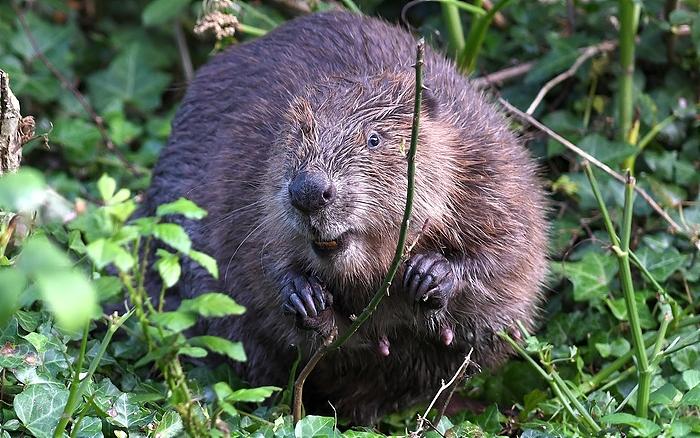 David Parkyn Cornwall Wildlife Trust - beavers (1)