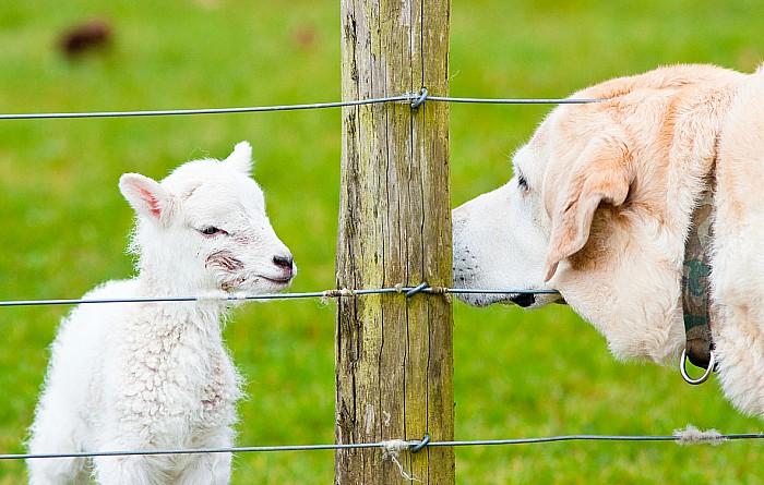 Dog near newborn lamb