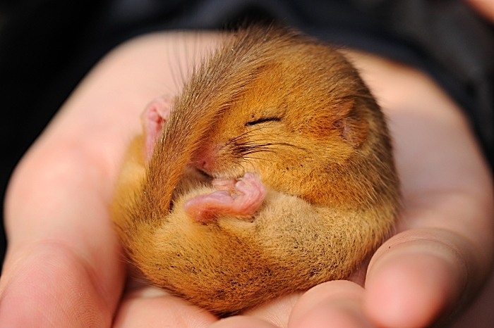 Dormouse c. Amy Lewis - cheshire wildlife trust