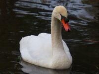 Popular swan at Crewe's Queens Park passes away