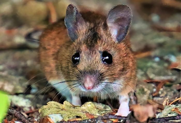 Field Mouse - photo by Daniel Bain (1)