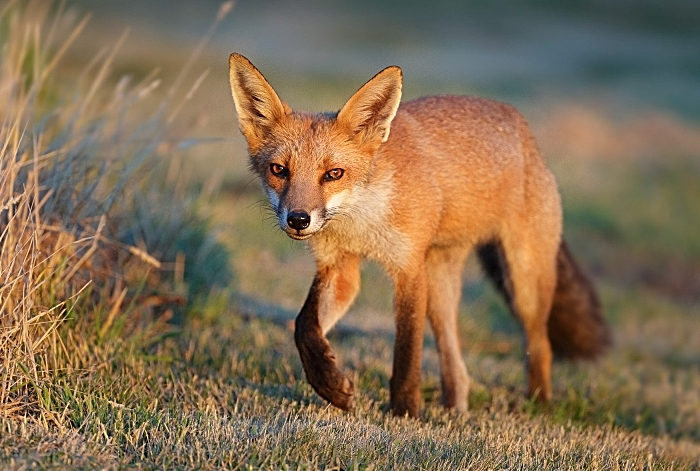Fox at Clutton, Chester by Simon Roberts DECEMBER (1)
