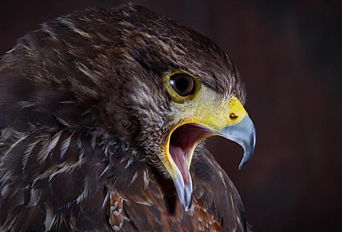 Golden Eagle by Robert Gough