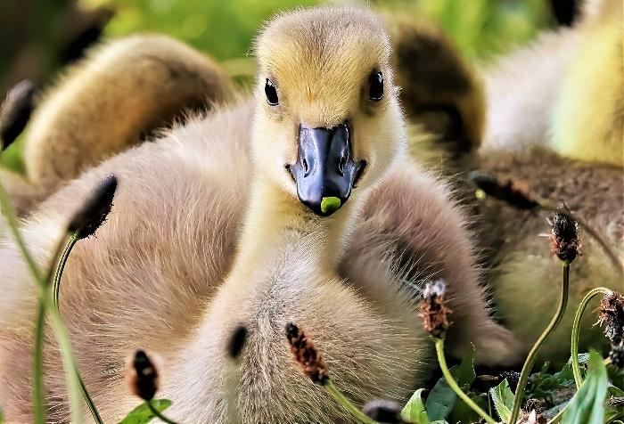 Gosling - photo by Daniel Bain (1)