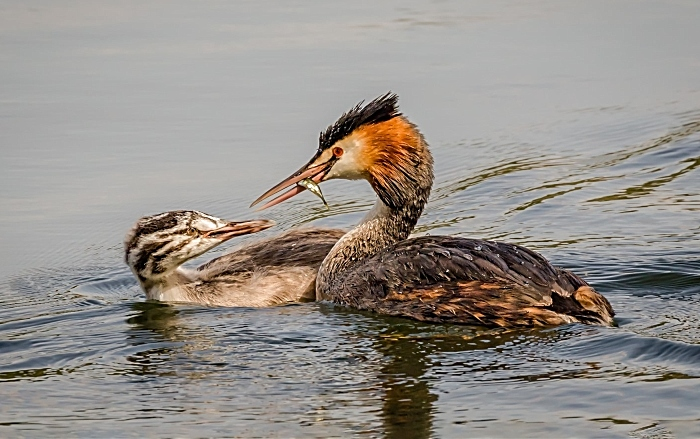 Grebe at Moore Nature Reserve, Warrington by Maggie Bullock JUNE (1)