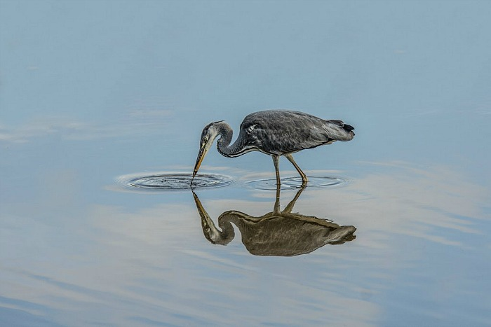 Grey Heron by Brian Sankey - camera club