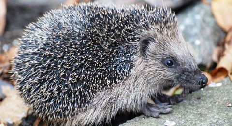 RSPCA Stapeley braced for surge in hedgehog admissions