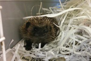 Number of hedgehogs admitted to Nantwich RSPCA set to spike at 400