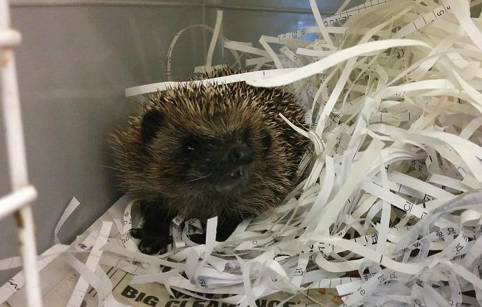 Hedgehogs - RSPCA Stapeley