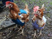 Bald hens wrap up warm thanks to Reaseheath College students