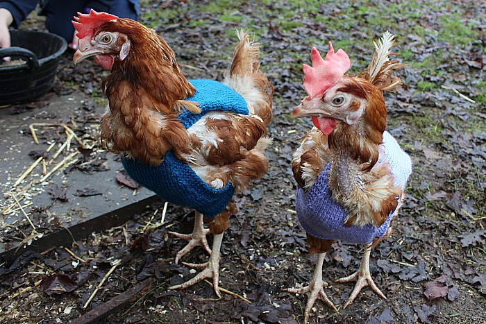 Hens in jumpers 1